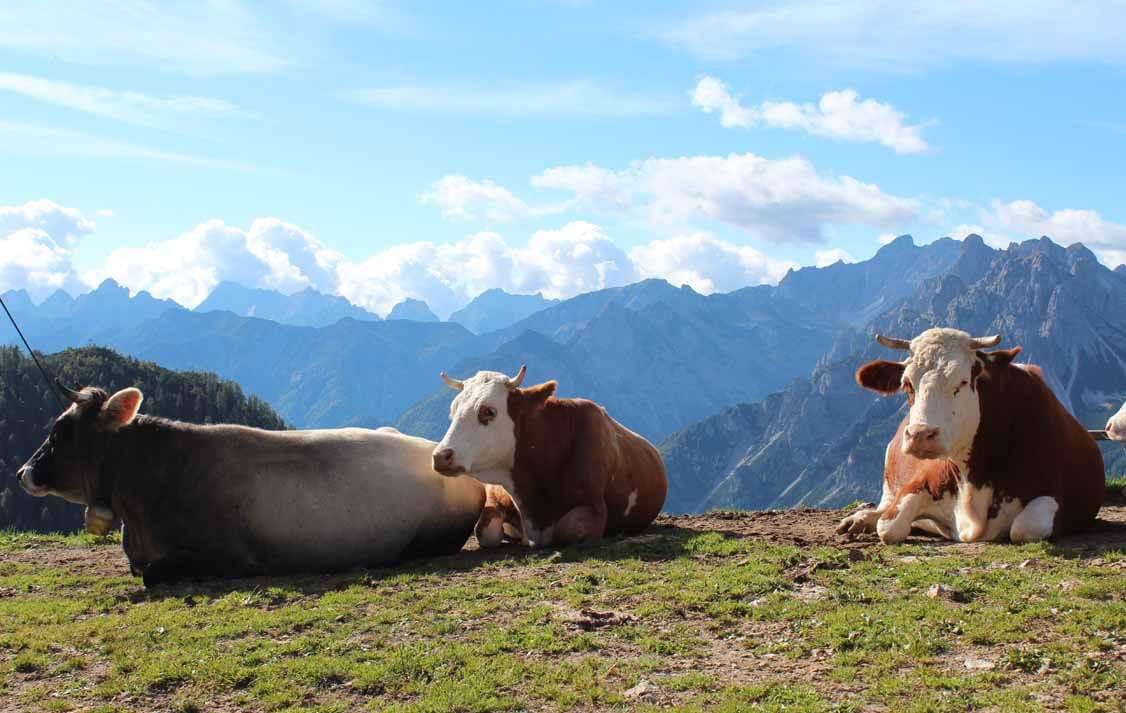 Mucche in Varmost